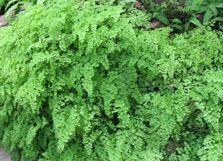 Maidenhair Fern Care – How To Grow A Maidenhair Fern