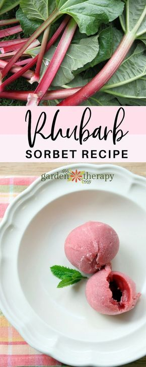 A simple recipe for turning garden-fresh rhubarb into a tart and sweet rhubarb sorbet recipe that tastes just like the pie! #gardentherapy #rhubarb #dessert #recipe via @garden_therapy