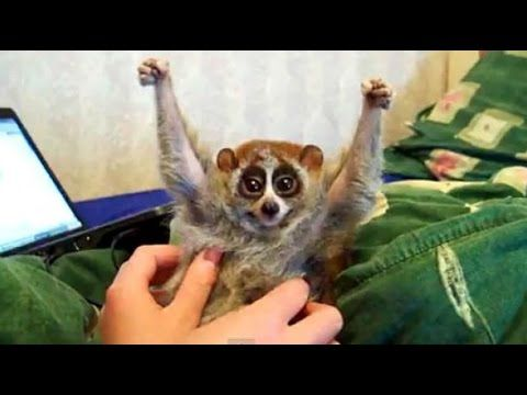 Tickling is Torture | Save the Slow Loris. The truth behind the Slow Loris pet trade and those 'cute' videos online.