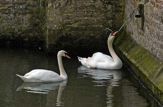 Ꮥwҽҽʈ ƦᎥvҽɽ ƔᎥℓℓαɠҽ Wait...is that swan ringing a bell to be fed...?