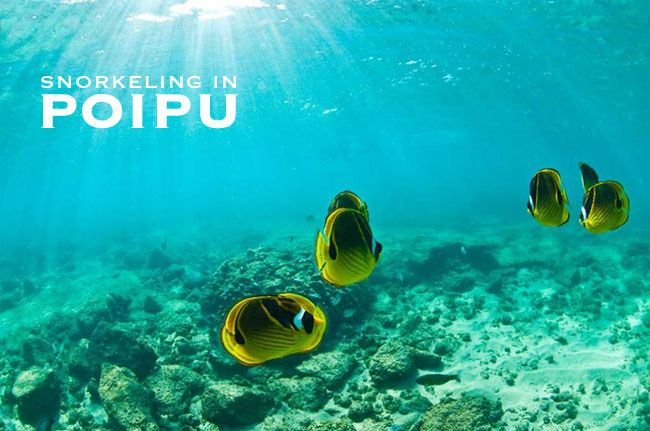 Poipu has some of the best snorkeling beaches on Kauai. Take a look at our top beaches for shallow water snorkeling and where to rent snorkel gear.