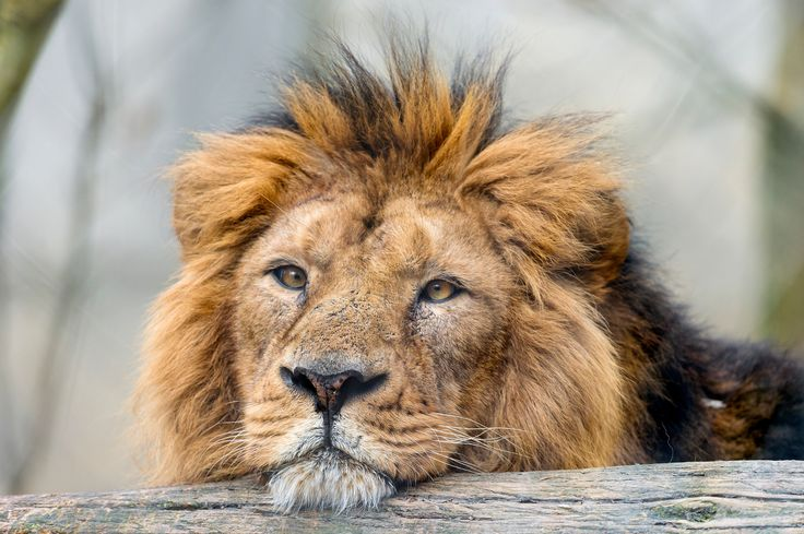 On Cecil: The African Lion is Endangered. What is the Government Waiting For?