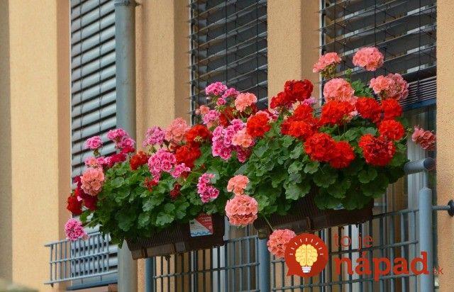 Nádherne zakvitnuté muškáty sú symbolom letných mesiacov. Často sa však stáva, že muškáty aj napriek starostlivosti, jarnému rezu a dostatočnej zálievke. Chyba môže byť v črepníku, v ktorom sú kvety uložené. Muškáty sú totiž veľmi