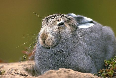 The Animal Society: Animal of the Month: The Arctic Hare