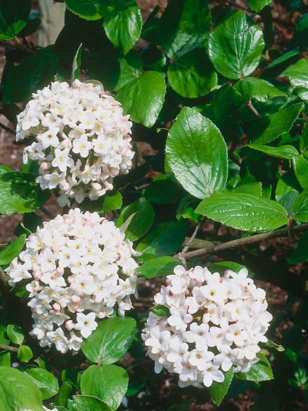 Viburnum:  The compact, semievergreen Burkwood Viburnum 'Anne Russell,' pictured here, produces clusters of intensely fragrant white flowers from mid- to late spring; plant it close to a seating area or pathway, in full or partial sun and well-drained or moist soil, to make the most of its scent. For an evergreen alternative, consider the David Viburnum, which whose dark green oval leaves give way to small white blooms in late spring. Both viburnums will grow up to 5 feet wide and 5 feet…