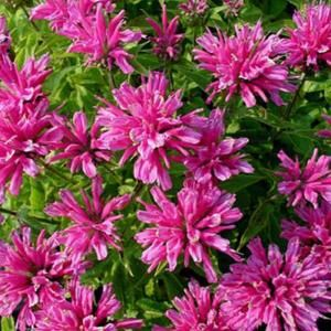 OnlinePlantCenter, 1 gal. Petite Delight Bee-Balm Plant, M940CL at The Home Depot - Mobile
