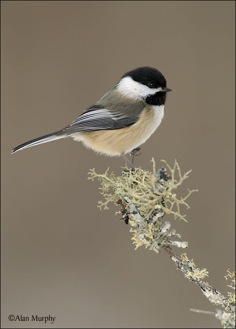 Chickadee - Another favorite bird that visits my feeders every day.