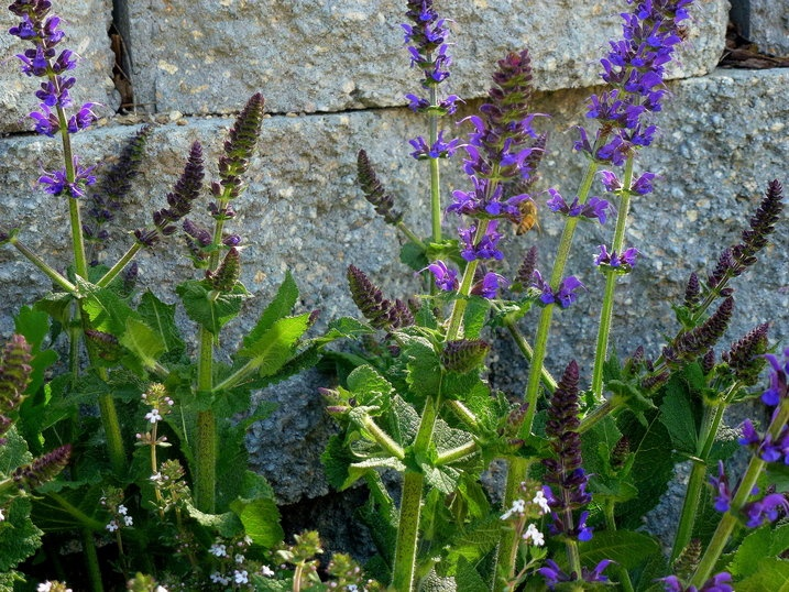 Drought-tolerant 'May Night' sage. Here are seven smart ways to save water in the garden.: Gardens Ideas, Save Money, Save Water, Gardens Success, Gardens Happy, Gardens Goddesses, Gardens Skills, Gardens Tidi, Gardens Plants Yard