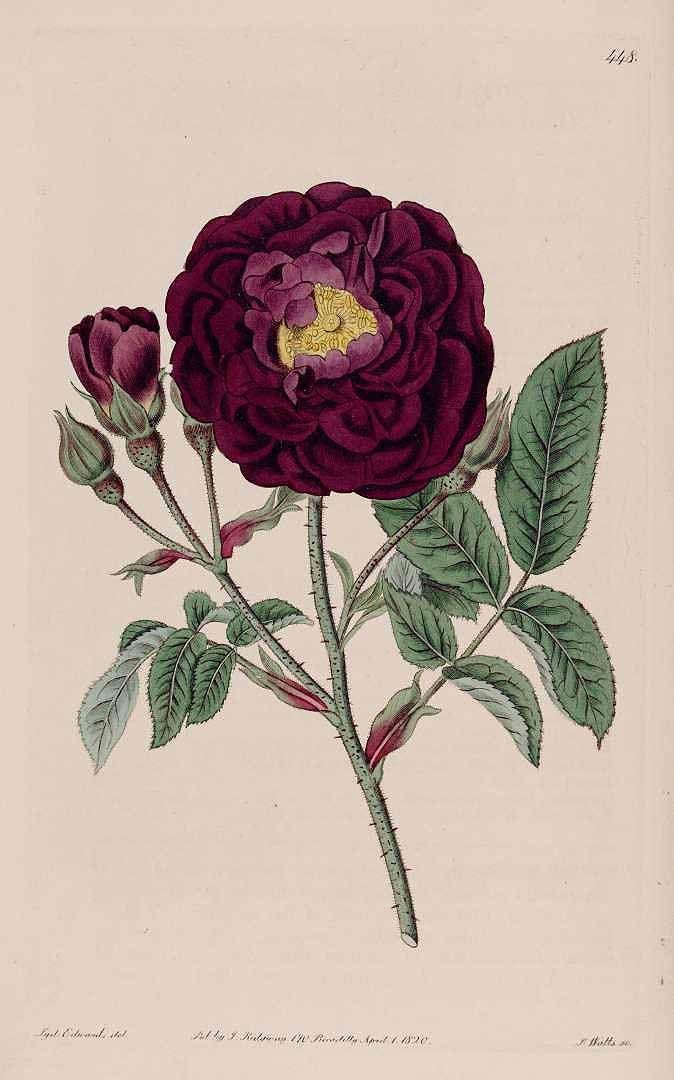 Rosa gallica L. from Botanical Register 1820