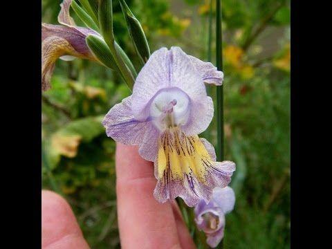Gladiolus carinatus - seen in nature
