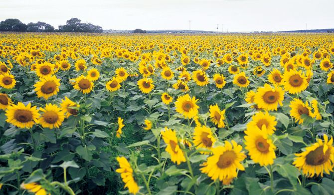 Sunflowers grown in QLD