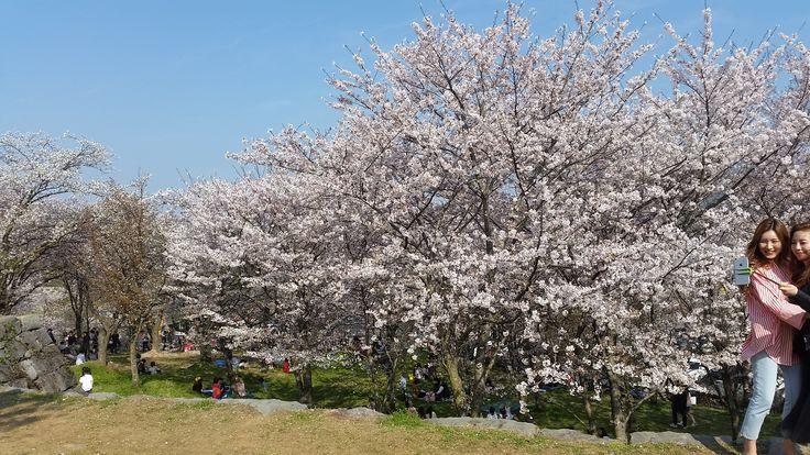 Cherry Blossoms at Sacheon
