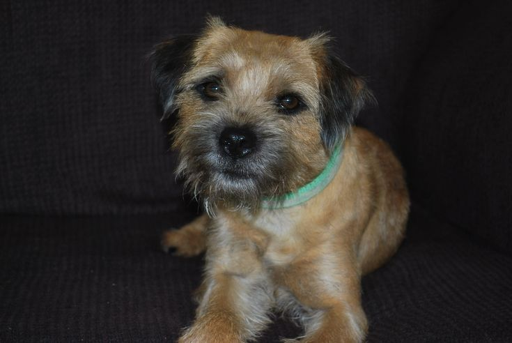 Border Terrier- our next family dog...the puppy is due to be born the first week of August from Big Sky Border Terriers in Helena, Montana