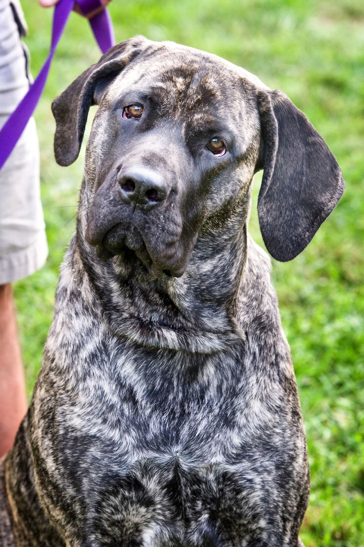 Izzie is an American Mastiff.  She is two years old.  She loves to hang out with her humans.  Whenever anyone comes home from work or school she presents them with some item... shoe, pillow, dog toy, etc.   She is a big sweetheart.