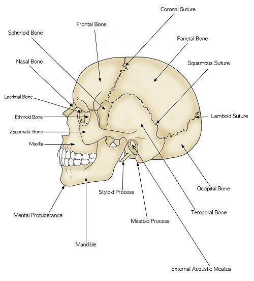 parts of the human skull biology101 study guide. Black Bedroom Furniture Sets. Home Design Ideas