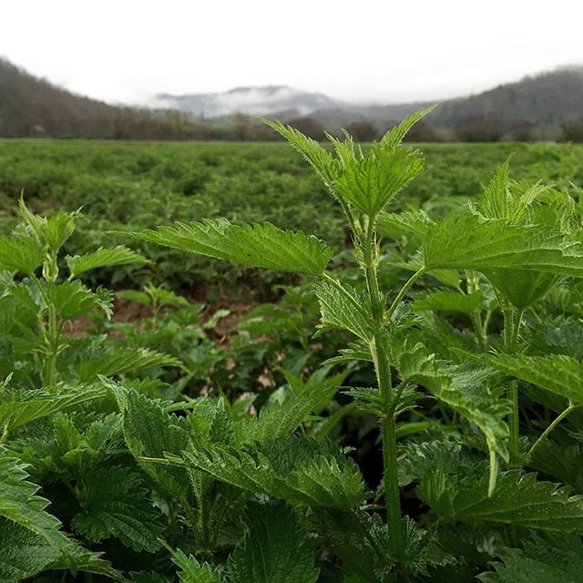 With recent spring rains, Nettle 🌿 is flourishing in our farm fields. Many of you may not know that Nettles are packed with nutrition and have a taste like vibrant spinach. Per cup, these dark, leafy greens contain 37 calories, 2 grams of protein, and 6 grams of dietary fiber. In addition, they contain more than a third of your daily Vitamin A, 8% of the RDA of iron (twice as much as spinach)—and 42% of the RDA of calcium. The calcium in many leafy greens (particularly spinach, chard and…