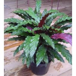 Calathea rufibarba - shadow plant