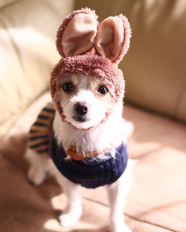** じっ👀👀 走り方うさぎだからこれつけたまんまお散歩したらほんとにうさぎになりそう🐰笑 #チワマル #マルチワ #dog #愛犬 #犬のいる暮らし