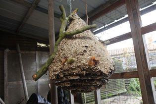 nid frelons asiatiques