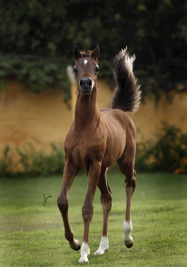 Alexandra :: Fazenda Floresta ~ Beautiful Arabian Horses
