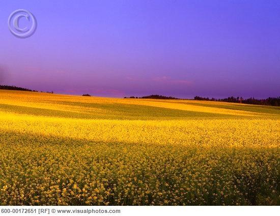 A beautiful sunset over a canola field in Alberta.