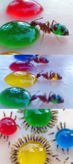 congenitaldisease:  Mohamed Babu from India, captured these amazing pictures last year after his wife noticed that ants turned white when they drank milk. He dissolved sugar in food colouring solutions of red, green, blue and yellow and then placed them in his garden to attract ants. Some of them even moved between the different solutions, resulting in psychedelic colour combinations.