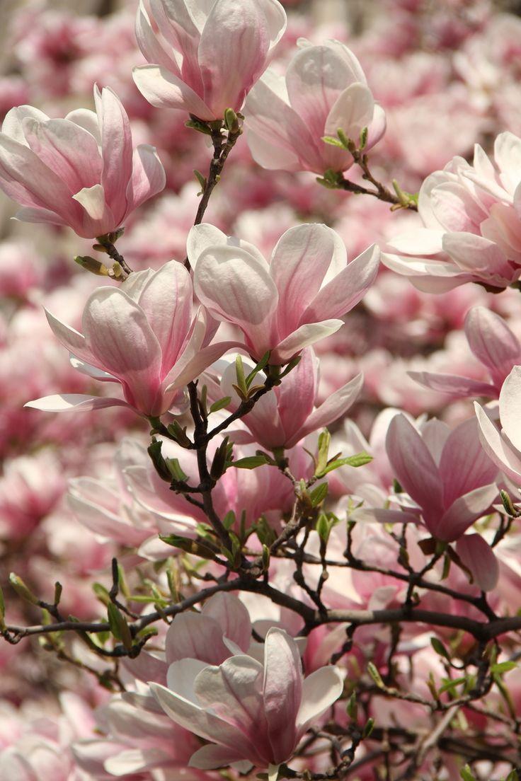 Magnolien sind einfach wundervoll...