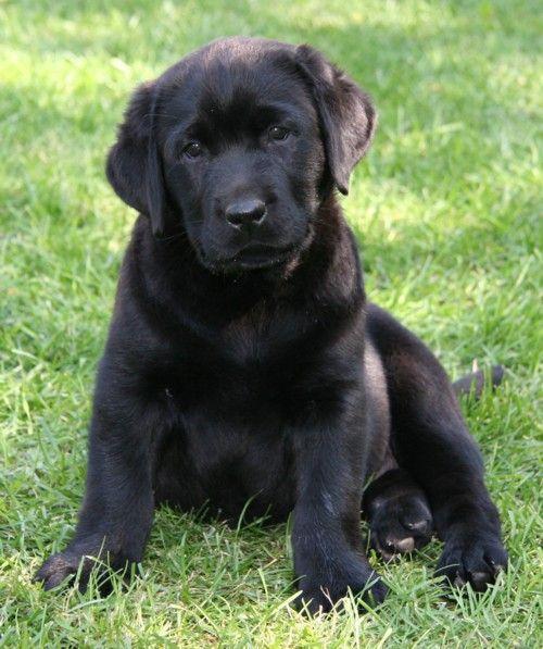 Golden Retriever Black Lab Mix Puppy Photos Animals Puppies