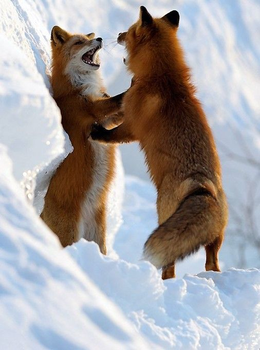 red foxes / Ha, Ha, Ha, Ha, Ha!  I Would love to have this dance!  (: