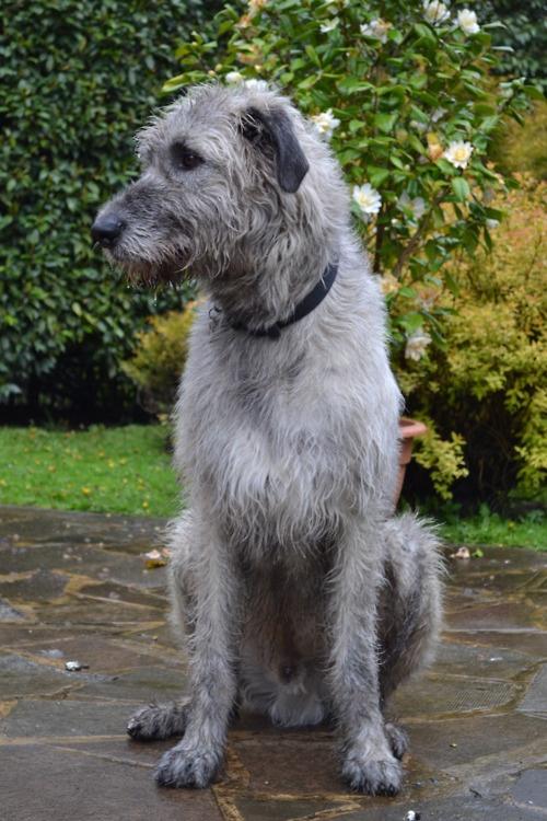 Grey Irish Wolfhound   www.imgkid.com - The Image Kid Has It!