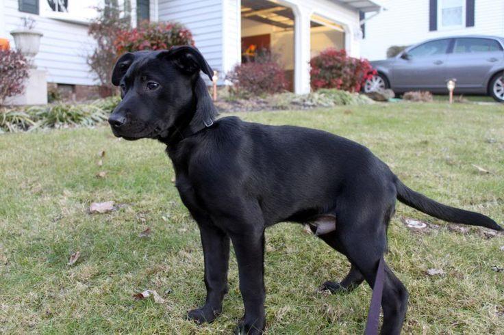 black lab pitbull mix puppies QKltQ1AJ