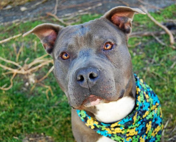 Meatball is an adoptable American Staffordshire Terrier searching for a forever family near Wilmington, DE. Use Petfinder to find adoptable pets in your area.