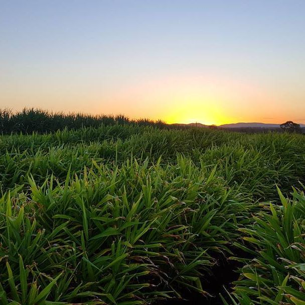 ☉ A beautiful sunset over our ginger crop at Spencer Ranch, Wallaville QLD. The ranch produces a variety of citrus, passionfruit, ginger and sweet potatoes on 180 hectares. We never get sick of this view!  #stunning #sunset #spencerranch #wallaville #queensland #ginger #aussiefarming #eatfresh #healthy #eats #instafood #nature