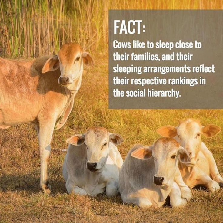 You are now subscribed to cow facts!