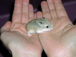 Wie trainiere ich Ihren Hamster, damit Sie ihn halten