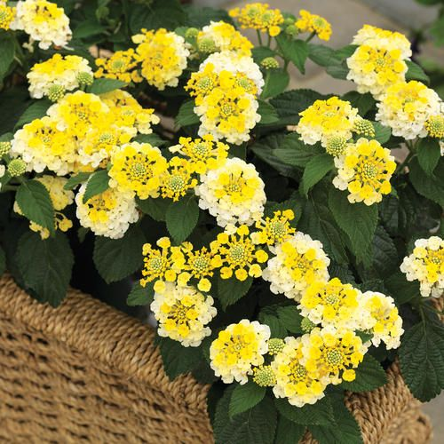 Lantana Bandana Lemon Zest from Proven Winners