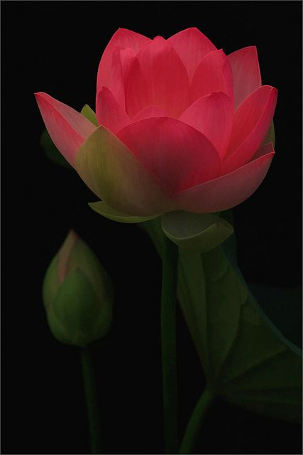 Lotus Flower - natural light Photography - Buzz Filter -  by Bahman Farzad, via Flickr