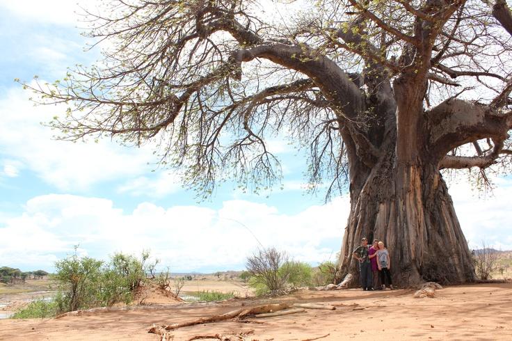 Baobab. Ruaha, Tanzania.