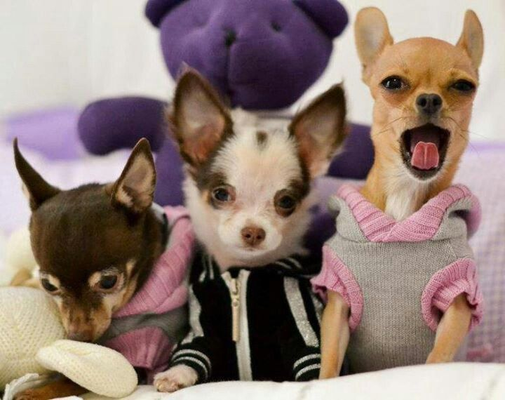 Chihuahua what can u say but  q t and q t love u guys with your sweaters www.capemay dogs.com