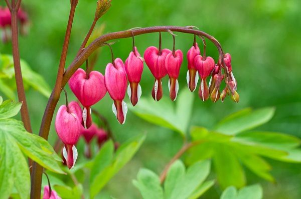 bleeding heart vine for pergola
