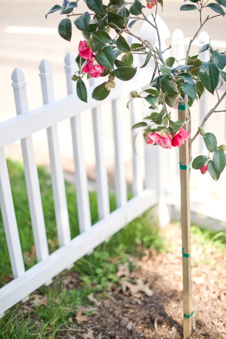 21 best Camellia garden images on Pinterest | Camellia, Gardening ...