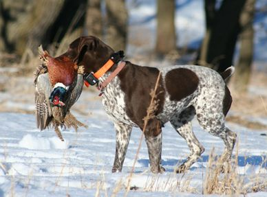 LX #hunting #dogs #1816 #remington http://www.wingshootingdestinations.com/upload/editor/Picture%2030.png