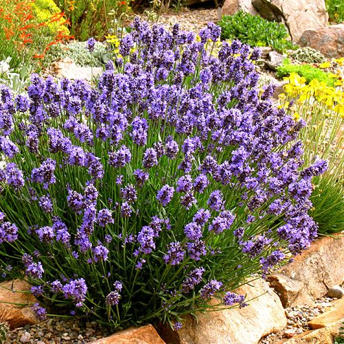 "English lavender is the most fragrant, but Spanish lavender's deep purple ""rabbit ears"" stand out in garden beds."
