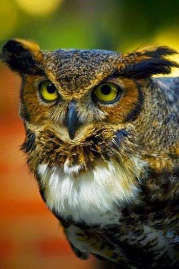 Great horned owl, aka tiger owl or screech owl of the Americas