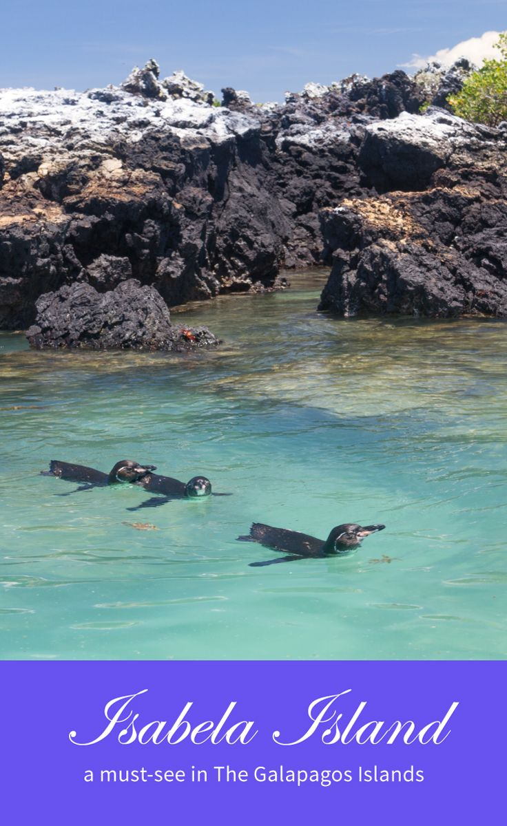 Isabela Island is a must-see in the Galapagos Islands. In this post, I will explain why. It is the biggest island in the Galapagos.