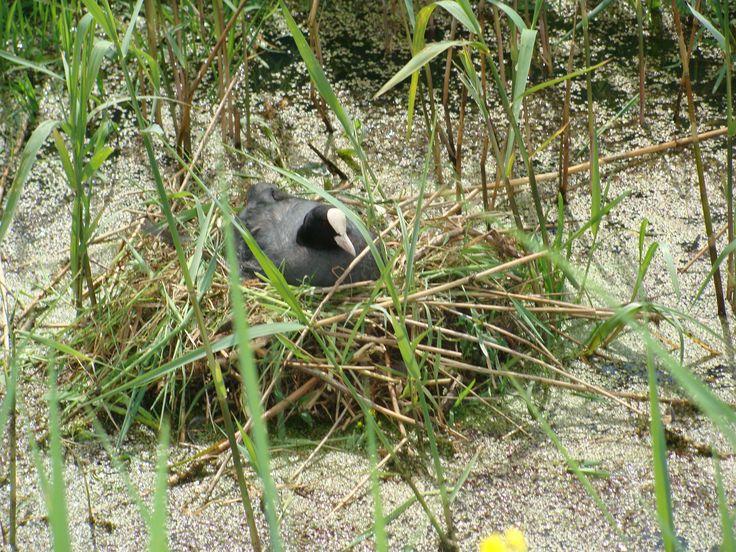Meerkoet op nest