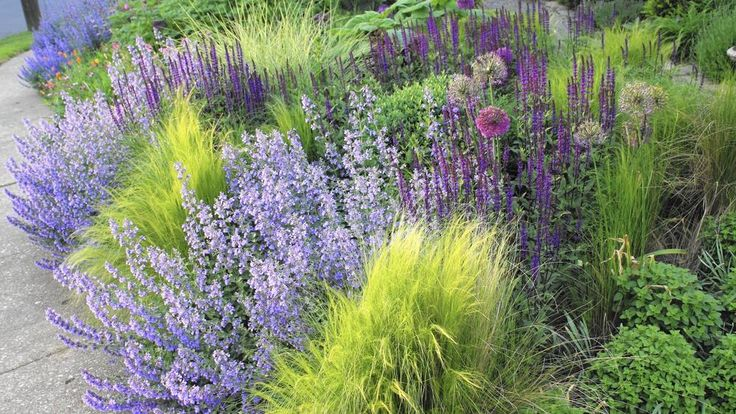 Mexican feather grass, catmint, meadow sage and alliums co-exist happily in this border.