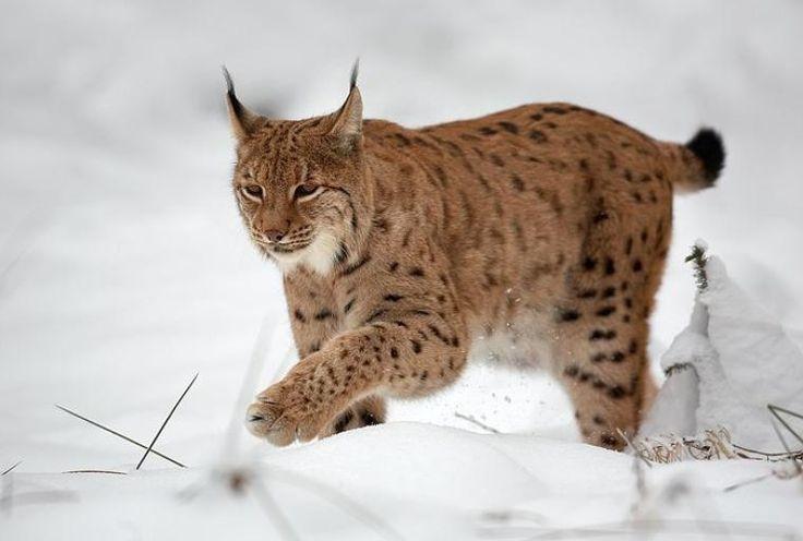 Lynx boréal ou Lynx d'Eurasie. Longueur de 80 à 135 cm