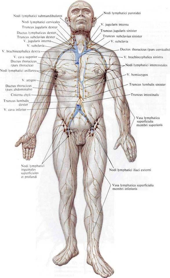 Лимфатические узлы желудка