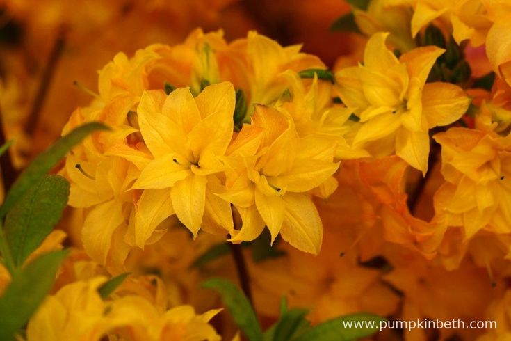 Rhododendron 'Sun Star' is a new deciduous azalea, launched by Millais Nurseries…